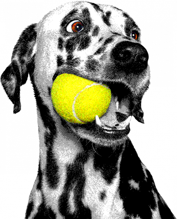 Close up of a dalmation with yellow tennis ball in his mouth
